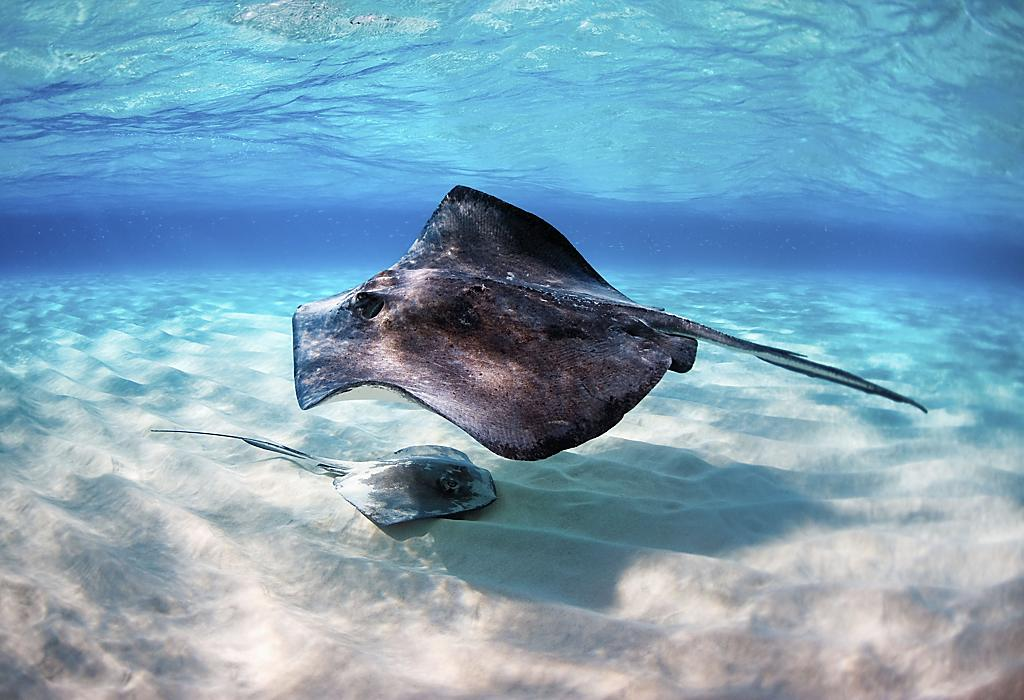 Stingrays in George Town, Grand Cayman