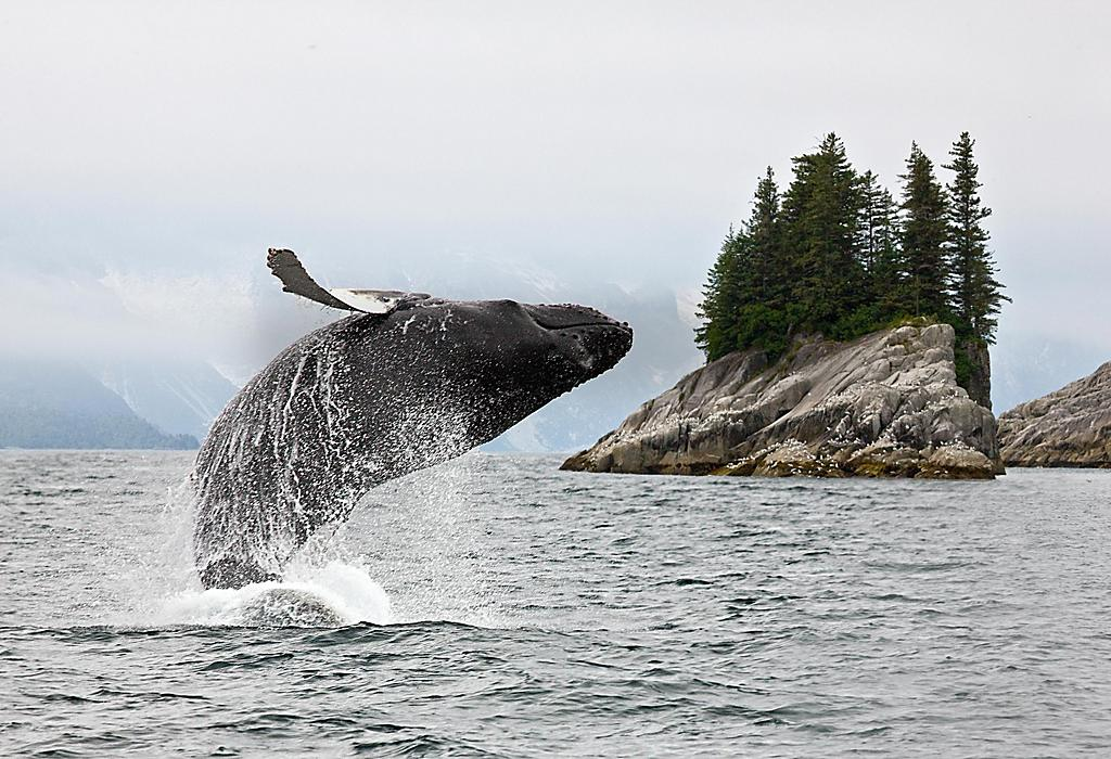 Whale Jumping out of the Water in Alaska