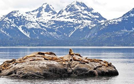 Seals in Alaska Inside Passage