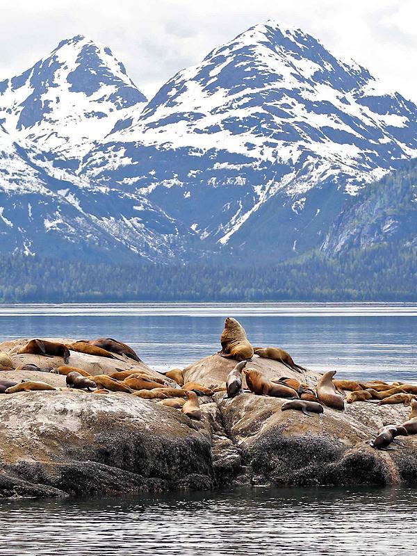 Seals in Alaska Inside Passage