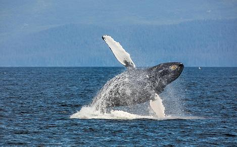 Whale Watching Activity in Alaska