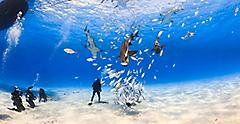 Shark Feeding and Diving in the Bahamas