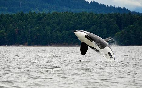 Orca Jumping Over the Water