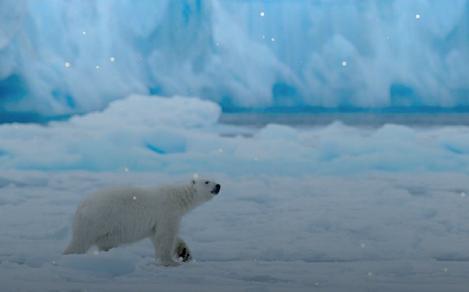 Polar Bear Walking on the Snow