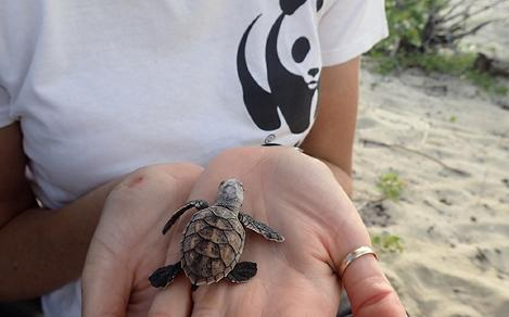 Christine Hof (WWF-Australia Species Conservation Project Coordinator) holding a hawksbill turtle hatchling.   In February 2017, WWF-Australia worked with Apudthama Indigenous Rangers and the Department of Environment and Heritage Protection to attach satellite transmitters to ten hawksbill turtles on Milman Island. The satellites are used to gather data about where the turtles feed, which reefs they prefer, what paths they take, and what threats they're facing, which allows WWF and its partners to protect them more effectively.