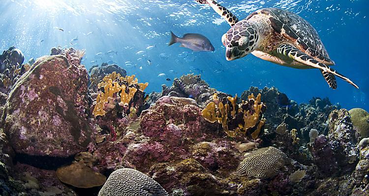 Hawksbill turtle (Eretmochelys imbricata). Roatan, Bay Islands, Honduras, Central America.