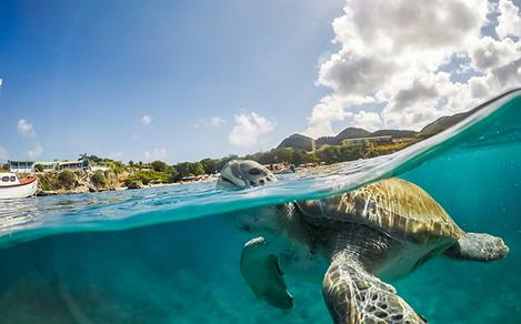 turtle swimming in clear waters curacao