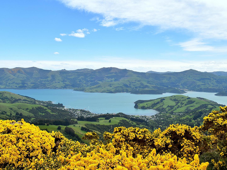 Akaroa, New Zealand Yellow Flower Bushes