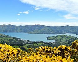 Yellow flower bushes in a scenic view of the ocean bay in Akaroa, New Zealand