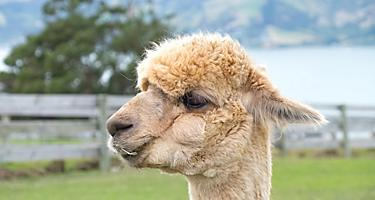 Alpaca's in Akaroa, New Zealand