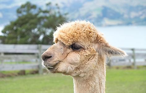 Alpaca's in Akaroa, New Zealand