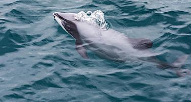 Hector's dolphins swimming in the ocean of New Zealand
