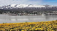 A beautiful landscape of yellow flowers, the bay, Akureyri, Iceland, and mountains in the distance