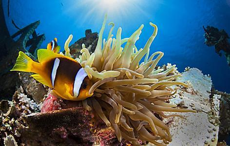 Underwater anemone at Aqaba Marine Park