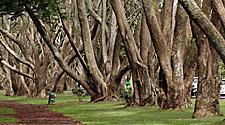 A trail between several large trees in Cornwall Park in Auckland, New Zealand