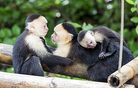 banana coast honduras capuchin monkey family