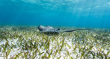 Stingray swimming on the ocean floor in Shark Ray Alley, Hol Chan
