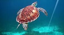Turtle swimming in Hol Chan Marine Reserve, Belize City