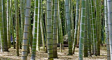 Bamboo trees in Beppu, Japan