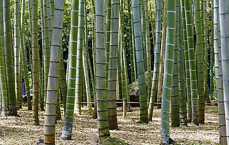Bamboo trees in Beppu, Japan