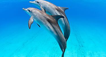 Dolphins swimming together underwater in Bimini Bahamas