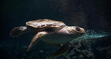 A turtle swimming at the Oceanopolis Aquarium in Brest, France