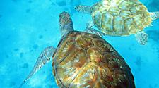 A couple of Sea Turtles Diving in clear ocean of Bridgetown, Barbados