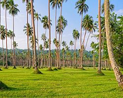 Lawn rows of coconut palm trees on grass fields in Champagne Bay, Vanuatu