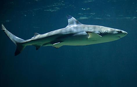 A black tip shark swimming