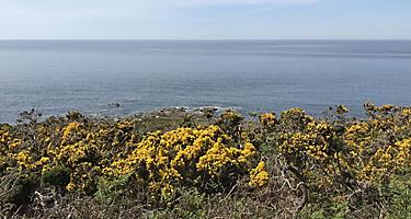 Yellow flowers on a cliff in Cherbourg, France