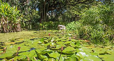 A water lily pond at the Botanical Garden in Darwin, Australia