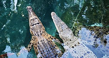 Two crocodiles in a river in Darwin, Australia