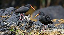 Oyster catchers birds in Doubtful Sound, New Zealand