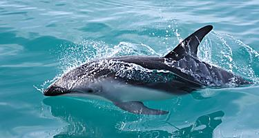 Dolphins swimming in New Zealand