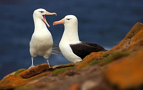 Pair of Black-browed albatross sitting on the cliff with dark blue water in the background on Falkland island near Dunedin, New Zealand