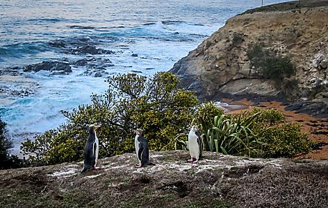 Penguins sitting on a rock near the water in Dunedin, New Zealand