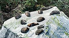 Fur seals laying on a big rock in New Zealand