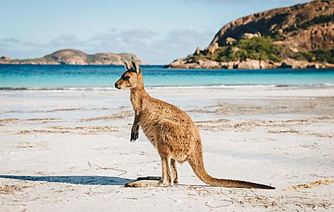 A kangaroo on a beach in Esperance, Australia