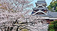 Cherry blossoms with views of the Himeji Castle in Fukuoka, Japan