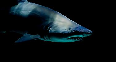 Close up of a shark at Moody Gardens aquarium in Galveston, Texas