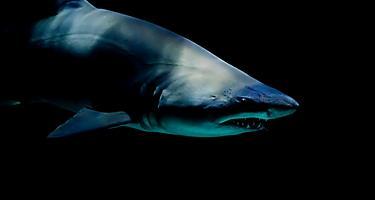 Close up of a shark at Moody Gardens aquarium in Galveston, Texas