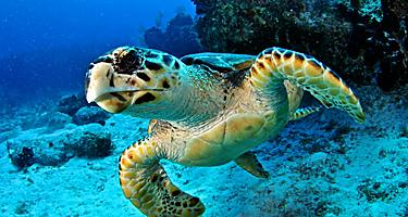 Close-up of a Hawksbill turtle in George Town, Grand Cayman