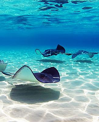 Stingrays in Stingray City, Grand Cayman