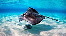 Stingrays in the crystal clear waters of George Town, Grand Cayman