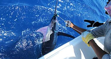 Fishermen catches a marlin in Grand Bahama Island, Bahamas