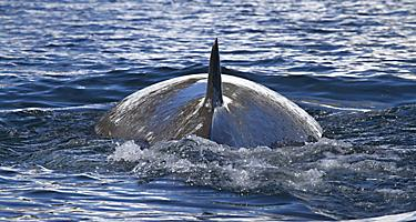 Halifax, Nova Scotia Minke Whale Going Underwater