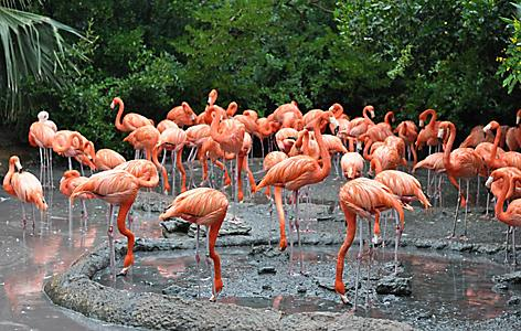 A group of flamingos at an aquarium in Hamilton, Bermuda