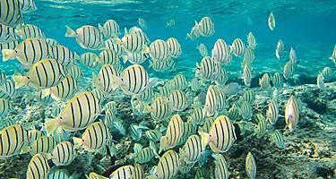 Convict tang fish swimming in Hanauma Bay