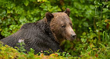 inside passage wildlife grizzly bear