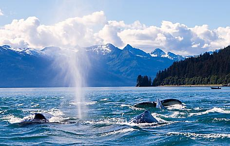 Humpback whales shooting out water in the ocean in Juneau, Alaska